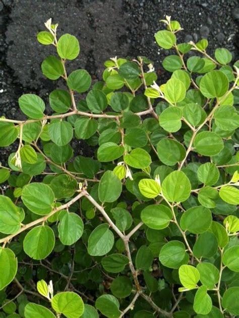 Herbal Daun Bidara Pohon Bidara Muda Terapi Herbal Daun Bidara Sabun Herbal