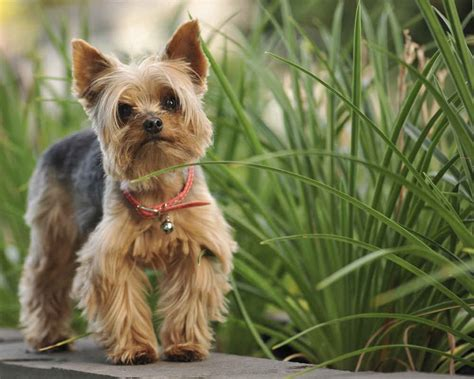 hairstyle for yorkshire terrier hairstyle for yorkshire terrier yorkshire terrier