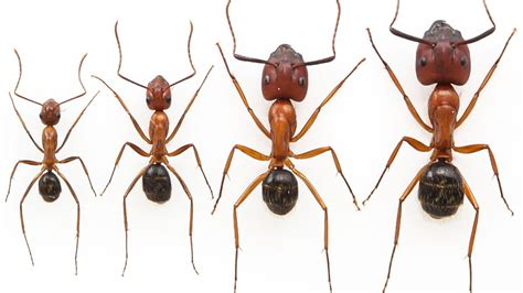 researchers  double  size  worker ants