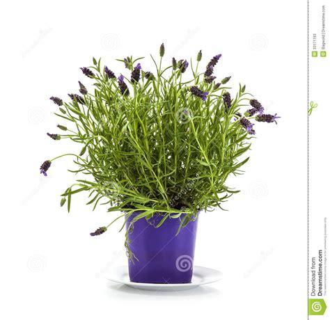 lavanda stoechas in vaso pianta di stoechas della lavanda in vaso di fiore porpora