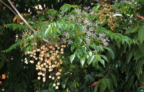 tree l melia azedarach