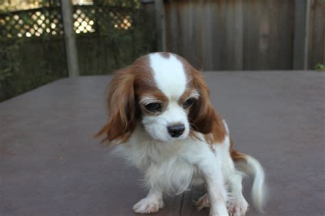 cavalier puppies for adoption rescue re homing the companion cavalier king charles spaniel club