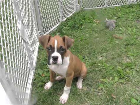 9 week puppy boxer puppy 9 weeks bailey doovi