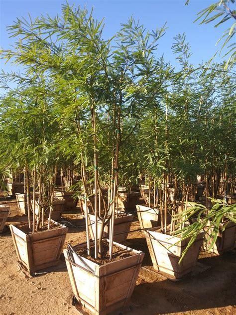 mesquite trees  box  sale  phoenix az offerup