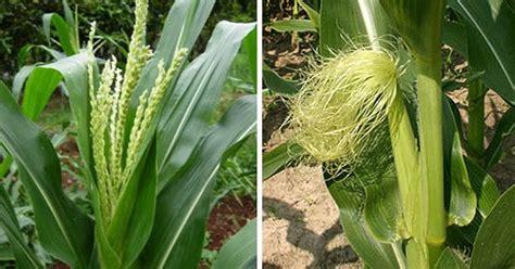 8 contoh bunga tidak sempurna gambar dan bagian bagiannya ebiologi