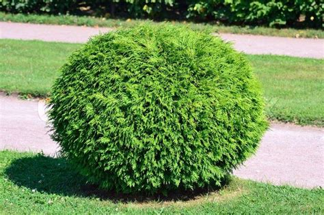 bushes google search bushes shrubs and plants pinterest shrub plants and gardens