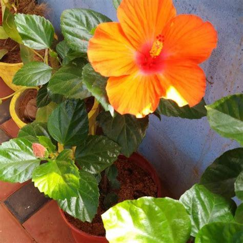 fiori ibiscus hibiscus fiori grande hibiscus uploaded by janie