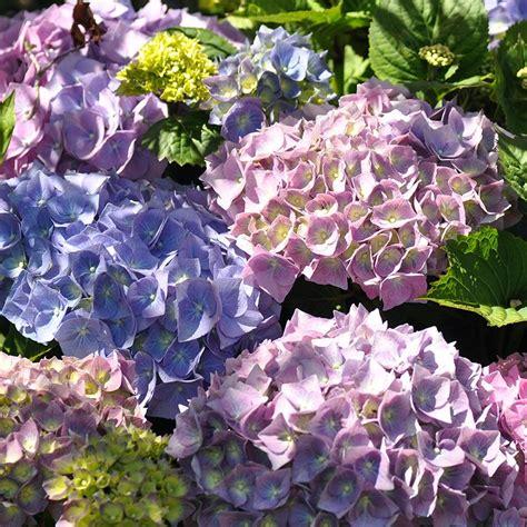 Wanneer Snoeien Hortensia by Stunning Hortensia In Bloei With Wanneer Snoeien Hortensia