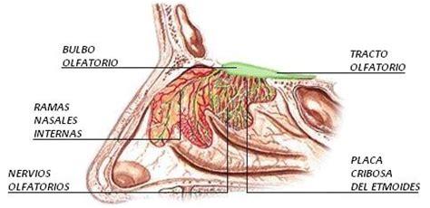 imagenes sensoriales olfativas biologia el olfato