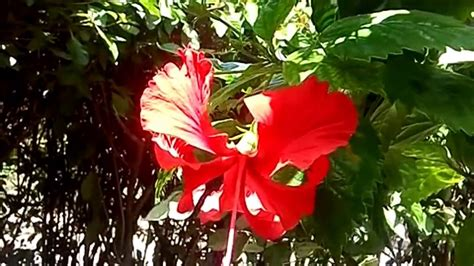 hibiscus back vcut hibiscus plant by cutting