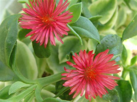 aptenia red apple baby sun rose world  succulents