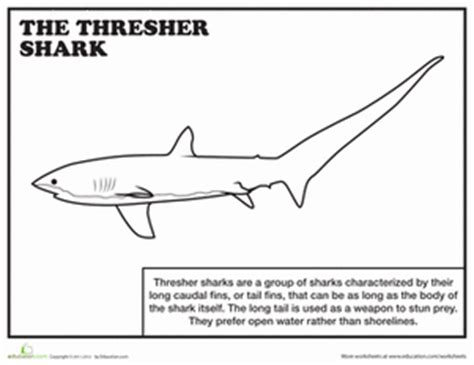thresher shark coloring page thresher shark worksheet education com