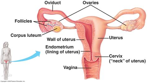 womens diagram reproductive system diagram