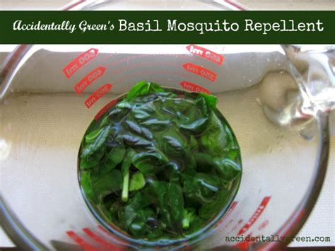 repelling mosquitoes with basil accidentally green
