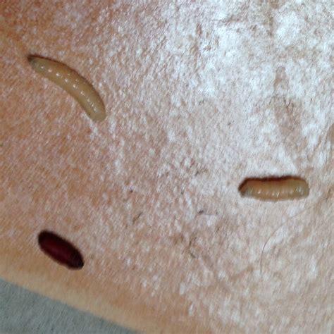 bett ungeziefer habe diese larven in meiner wohnung was ist das