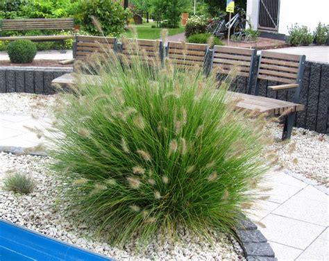 Garten Pflanzen Versand by Pennisetum Alopecuroides Quot Hameln Quot Lenputzergras