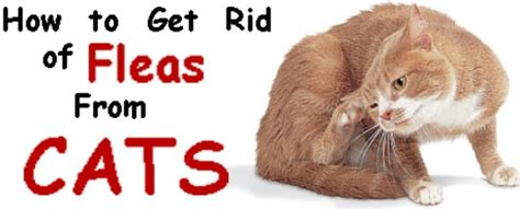 how to get rid of fleas on how to get rid of fleas from cats