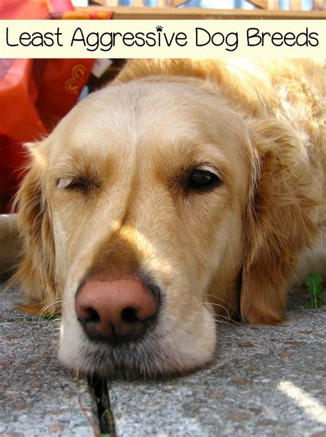 least aggressive breeds least aggressive breeds dogvills