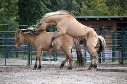 eber beim decken paarung der pferde informatives