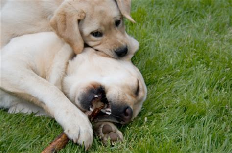 how to correct puppy biting puppy biting why and how to stop it