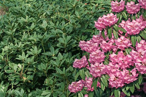 non flowering shrubs non flowering woody plants rhs gardening