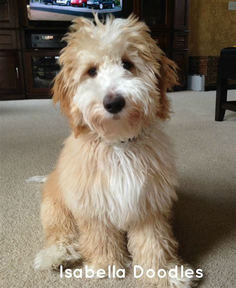 mini goldendoodle 1000 ideas about mini goldendoodle on