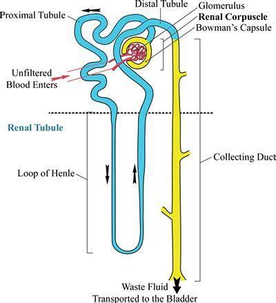 diagram of a nephron nephron reabsorption secretion diagram search