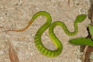 Garden Russet Snake Bamboo Pit Viper 1 1 Flickr Photo