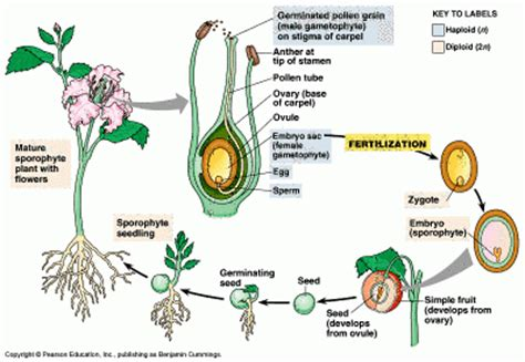 Benih Bibit Biji Buah Black Currant Fruit Seeds Import contoh dan manfaat angiospermae tumbuhan berbiji tertutup