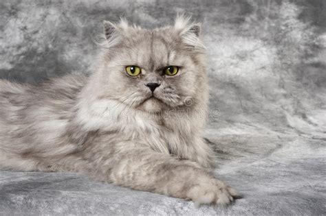 gatti persiani grigi gatto persiano grigio immagine stock immagine 9696351