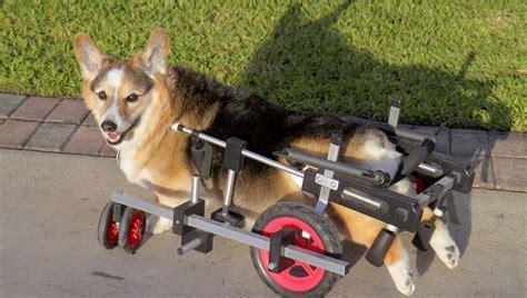 degenerative myelopathy in pugs degenerative myelopathy in dogs symptoms causes treatments dogtime