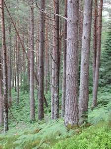 Landscape Pine Trees Rolland Asley Pictures Of Landscaping Pine Trees