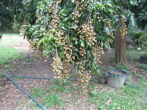 how to grow longan fruit trees forum longan
