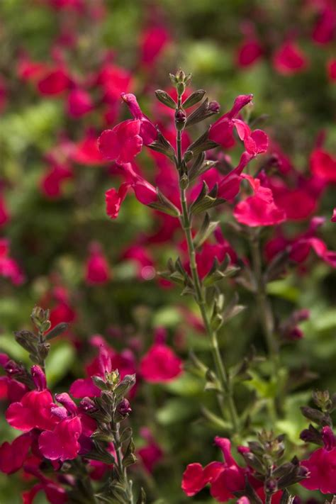 Evergreen Blaze 4 0 heatwave blaze salvia microphylla x greggii this