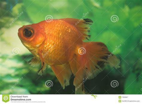 colorful goldfish colorful goldfish royalty free stock photography image