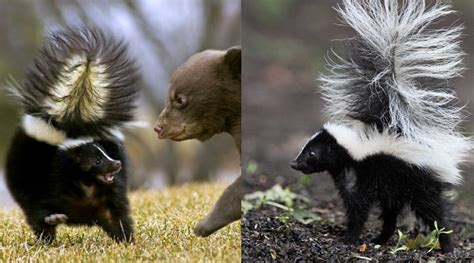 skunk facts animal facts encyclopedia