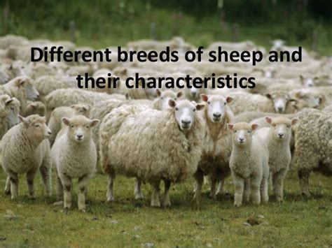 breeds and personalities different breeds of sheep and their characteristics