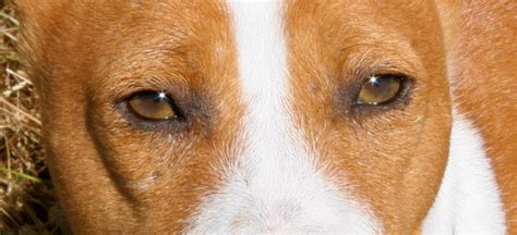 conjunctivitis in dogs treatment canine conjunctivitis