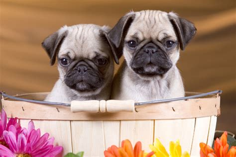 pug breeder perth about us pugs in perth