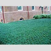 dwarf-mondo-grass-lawn