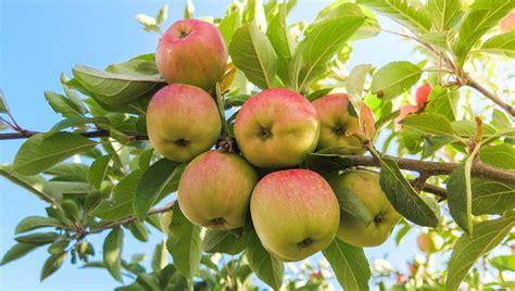 apfelbaum garten apfelbaum gt garten ratgeber