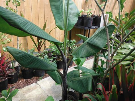 tropical plants for sale in florida what s in stock current tropical plants photos exotica