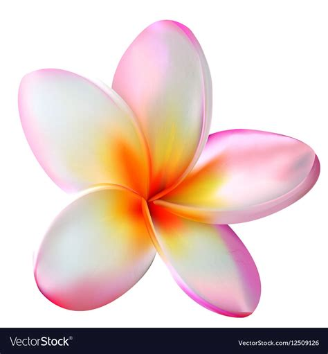 plumeria vector pink plumeria flower royalty free vector image