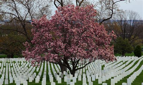 file flowering magnolia tree arlington cemetery west