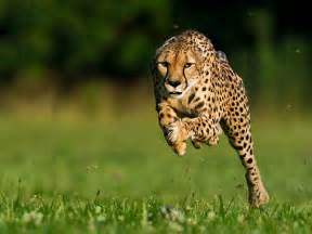 Jaguars Running Cheetah Breaks Speed Record Beats Usain Bolt By Seconds