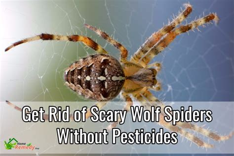 get rid of scary wolf spiders safely without pesticides