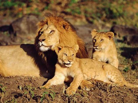 imagenes de leones y sus cachorros le 243 n panthera leo mascotas taringa