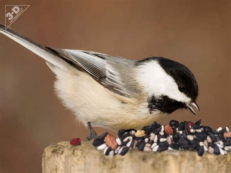 black capped chickadee 3d 174 pet products3d 174 pet products