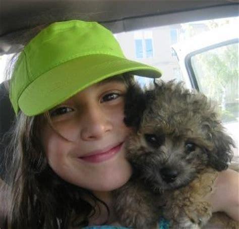 black shih tzu puppies for sale in florida shih tzu bichon puppies for sale in florida