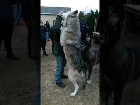 lobo gigante impressionante lobos domesticados youtube